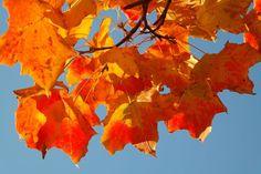 Esdoorn (Acer) : de 'Indian Summer' in Noord-Amerika wordt vooral veroorzaakt door de esdoorn waarvan het blad geel, oranje en rood kleurt in het najaar. Het handvormige blad staat zelfs op de vlag van Canada. Geschikt voor een grote tuin. Indian Summer, Painting, Acer, Trees, Painting Art, Tree Structure, Paintings, Painted Canvas, Wood