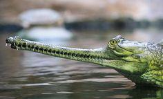 7 animais quase inofensivos, porém muito assustadores : gavial um predador que assusta pelo longo focinho e corpo avantajado de até 6 metros , se alimenta apenas de peixes, larvas e rãs . Sua mandíbula é pequena para comer animais maiores . Entre os amimais assustadores estão ainda o tubarão-elefante, o aie-aie , o solífugo. o abutre e ....
