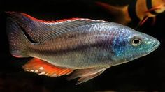 Malawi Cichlids, African Cichlids, Victoria Lake, Lake Tanganyika, Tropical Fish, Beautiful Fish, Pisces, Animaux, Exotic Fish