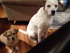 Beggers Rescue Puppies, Labrador Retriever, Best Gifts, Dogs, Animals, Labrador Retrievers, Animales, Animaux, Pet Dogs