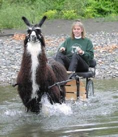 A Special Guest; a great story… - Farmlife - Teri Conroy, Llamas, farms, therapy, dogs - timesunion.com - Albany NY