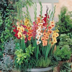 Gladiolus, which are also at times called the sword Lilly, which comes from shape of the leaves of the beautiful flower, are a fantastic flower used for celebrations, cut flowers and places for show in the garden or yard. Gladiolus Bulbs, Gladiolus Flower, Types Of Flowers, Cut Flowers, Flower Landscape, Landscape Design, What Is Gardening, Full Sun Perennials, Garden Bulbs