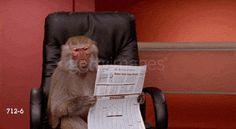 Baboon Monkey Images Funny Gif #4301 - Funny Monkey Gifs  Funny Gifs  Monkey Gifs