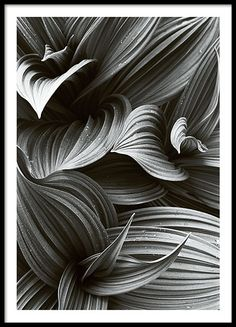 Decorative botanical poster with a stylish black and white photograph of Helleborus petals. Looks great as part of a picture collage matched with some of our other botanical prints or any of our black and white text posters. www.desenio.co.uk