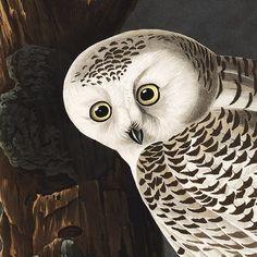 Free Public Domain   www.rawpixel.com    The Birds of America