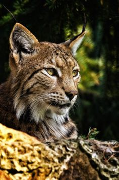 Lynx by Friedhelm Peters - Animals Lions, Tigers & Big Cats