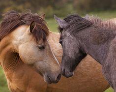 Photographic Print -  Fine art print - Horses - Tender love