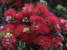 Crimson Pohutukawa flowers by Peter Nijenhuis, via Flickr