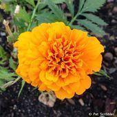 Marigolds in the Vegetable Garden? Marigo Marigolds in the Vegetable Garden? Marigolds In Garden, Slugs In Garden, Hydrangea Garden, House Plant Care, House Plants, Design Thinking, Perenial Garden, Annual Flowers, Gardening Books