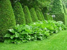 ревень, дизайн, использование ревеня в дизайне, живая изгородь из туи, живая изгородь с ревенем