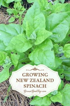 New Zealand Spinach isn't really spinach but tastes similar and can be cooked the same way. It is a heat loving plant that that is frost sensitive. Planting Vegetables, Organic Vegetables, Growing Vegetables, Gardening For Beginners, Gardening Tips, Backyard Vegetable Gardens, Growing Herbs, Growing Spinach, Square Foot Gardening