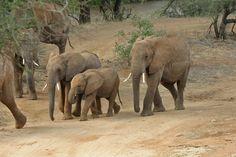Elephants, elephants and more elephants....