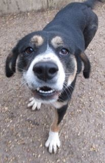 12/13/16 New Stanton, PA Check out Rainey's profile on AllPaws.com and help him get adopted! Rainey is an adorable Dog that needs a new home. https://www.allpaws.com/adopt-a-dog/entlebucher/5609799?social_ref=pinterest