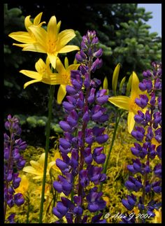One Morning Last Summer~ lupins & yellow day lillys
