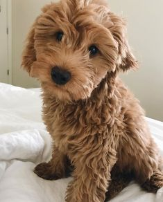Content filed under the Dog Treats taxonomy. Cute Baby Dogs, Cute Little Puppies, Cute Dogs And Puppies, Cute Little Animals, Cute Funny Animals, Doggies, Cute Dog Pictures, Cute Animal Photos, Poodle
