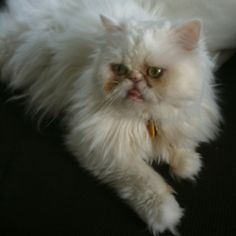 Persian Cat - Our biggest Cookbook Village fan!