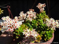 """Sedum lucidum obesum - Glossy green leaves turn cherry-red in full sun.  compact very smooth and shiny. Full sun or light shade with ample airflow. Bright light prevents """"stretching"""".  When moving plants from lower light into full sun, be wary of sun scorch resulting from too rapid a transition into intense summer sunlight, most easily avoided by ensuring plants are well-watered before moving them on a cloudy day.  Time to take cuttings: April to July."""
