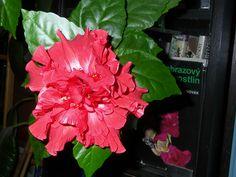 Jak se starat o hrnkový ibišek Container Gardening, Indoor Plants, Flowers, Inside Plants, Florals, Indoor House Plants, Flower, Blossoms