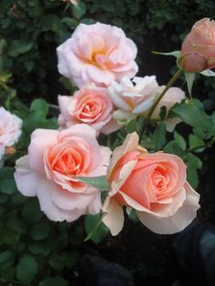 'Calliope' | Floribunda Rose. Harkness 1985 : @ miruvlecheniy