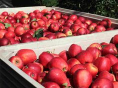 """""""You won't know where those apples came from, he says, but 90 percent of them were picked by an immigrant like him."""""""