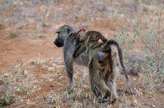 Kenya. Baboon's family