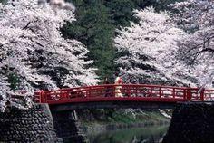 wonderful cherry blossom.  E' primavera!