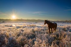 A horse stares into the rising sun after a cold night. The landscape is beautifully frozen. The mist from last night has turned into amazing crystals of ice on every object, even on the horse's back.