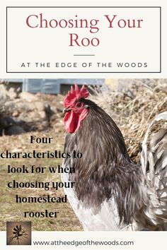 Four characteristics to look for when choosing your homestead rooster Homesteading, Rooster, That Look, Blog, Blogging, Chicken