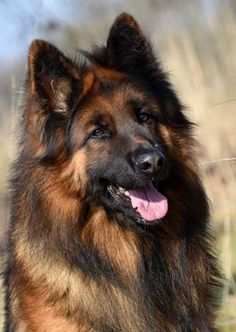 Canine Training Tips And Techniques For Easier Training German Shepherd Dogs, German Shepherds, Cat Care Tips, Brown Dog, Grey Cats, Dog Training Tips, Beautiful Dogs, Collie, Dog Pictures