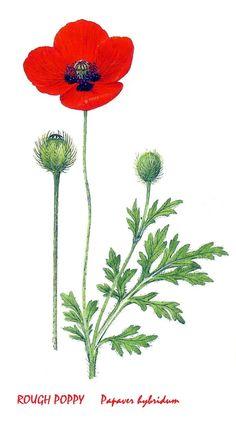 Rough Poppy. Image Notes, Poppy, Dandelion, Flowers, Plants, Dandelions, Plant, Taraxacum Officinale, Royal Icing Flowers