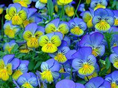 Viola Tricolor 787.jpg