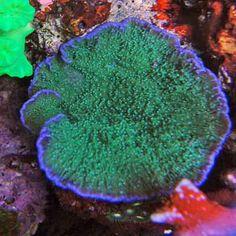 Plating montipora - love the color!  livingwellforsuccess.com