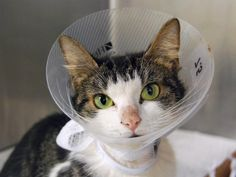 SMASHIE - A1087773 - - Manhattan  ***TO BE DESTROYED  09/17/16*** SECOND CHANCE FOR SMASHIE!!….Medical update…Her stitches are out but her appetite has decreased….we can't emphasize enough that she needs someone NOW!!… SMASHIE IS A 3 YEAR OLD GIRL THAT WILL NEED A VET TO RE- CHECK HER. She has a wound on her thigh with a drainage in it , but no more drainage as of yet. But will keep drain in until, hopefully she makes it out ALIVE to see a comp