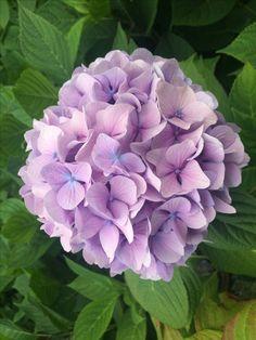 Green Hydrangea, Hydrangea Flower, Flower Pots, Lilacs, Pansies, Paradise Garden, Mille, Flower Aesthetic, Flowering Trees