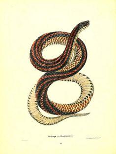 Helicops erytrogrammus-North American herpetology…1842-Joh Edwards Holbrook