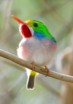 Cuban Tody - ©Ian Merrill (via SurfBirds) - The Cuban Tody is a bird species in the family Todidae that is restricted to Cuba and adjacent islands. The species is characterized by small size, large head relative to body size, and a thin, pointed bill