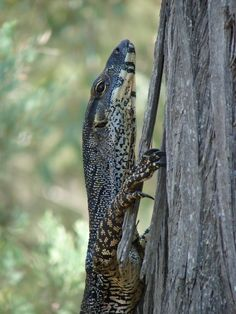 Lace Monitor...Coby and Michael Dahlem photos of Australian animals