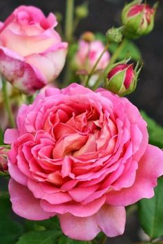 Pink rose    Same orphan found again in another garden…Jubilee Celebration - English Rose