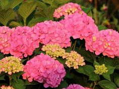 How To Change Hydrangea Colors - Pink, Blue & Purple