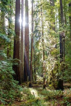 Rays in the Humbolt redwoods by Sébastien Trudeau-Dion