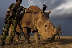 Nearly wiped out by poachers and a highly lucrative rhino horn black market, the Northern White Rhino is on the brink of extinction – Sudan, a rhino at the Ol Pejeta Conservancy in Kenya, is the last male Northern White Rhino in the world