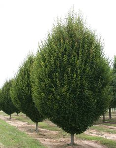 Pyramidal European Hornbeam is a drought resistant tree that has a very symmetrical, formal appearance. Botanical name for Pyramidal European Hornbeam trees - Carpinus betulus Fastigiata. Garden Shrubs, Garden Trees, Garden Plants, Deciduous Trees, Trees And Shrubs, Acer Trees, Hornbeam Hedge, Trees For Front Yard, Tree Sale