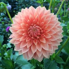 #unedited beauty #dahlia #slowflowers #fieldtovase #fiveforkfarms #flowers
