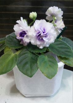 African Violet - Robs Cotton Ball