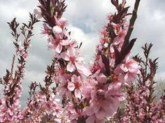 Prunus persica 'Bonfire'  Common Name: ornamental peach Type: Deciduous shrub Family: Rosaceae Zone: 5 to 8 Height: 4.00 to 6.00 feet Spread: 4.00 to 6.00 feet Bloom Time: April Bloom Description: Pink to red Sun: Full sun Water: Medium