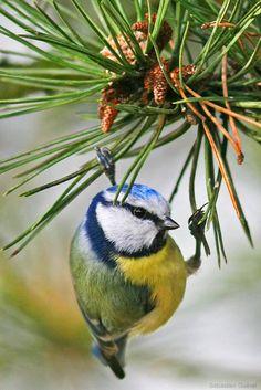 Blue Tit on Fir Tree, France