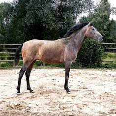 Divina, lusitano  filly