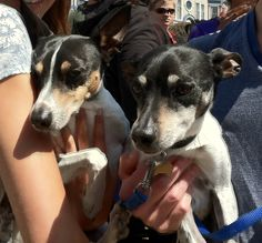 Seeing double...rat terriers