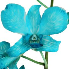 Browse Turquoise flowers at FiftyFlowers! With a bright enthusiasm that'll bring a new spark of excitement and vibrancy to any event, Turquoise takes the soft Dianthus Flowers, Calla Lily Flowers, Flower Bouquets, Beach Wedding Flowers, Beach Wedding Reception, Blue Dendrobium Orchids, Light Blue Flowers, Turquoise Flowers, Artificial Orchids