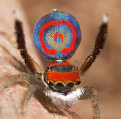 As can be observed through these collection of photos, the spider peacock's performance involves revealing its colorful extensions. Additionally, the spider raises two legs and vibrates while shifting from side to side, in an attempt to woo its female counterpart.